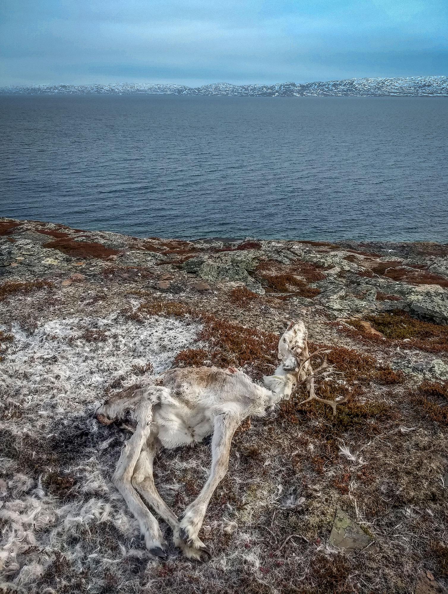 Reindeer in Mortensnes
