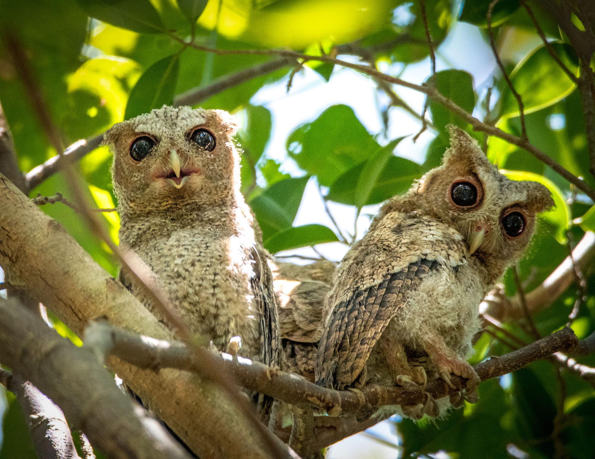 Juvenile Scops Owls
