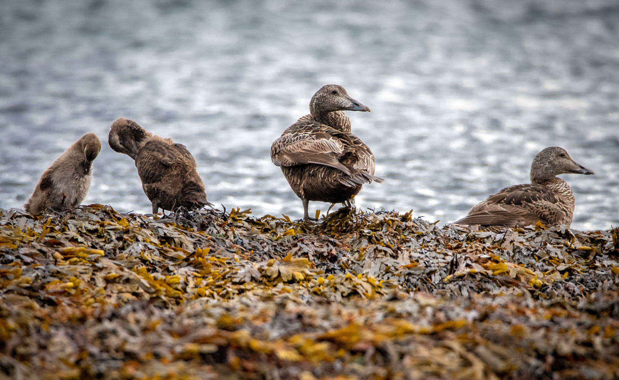 Eider duck females with chicks