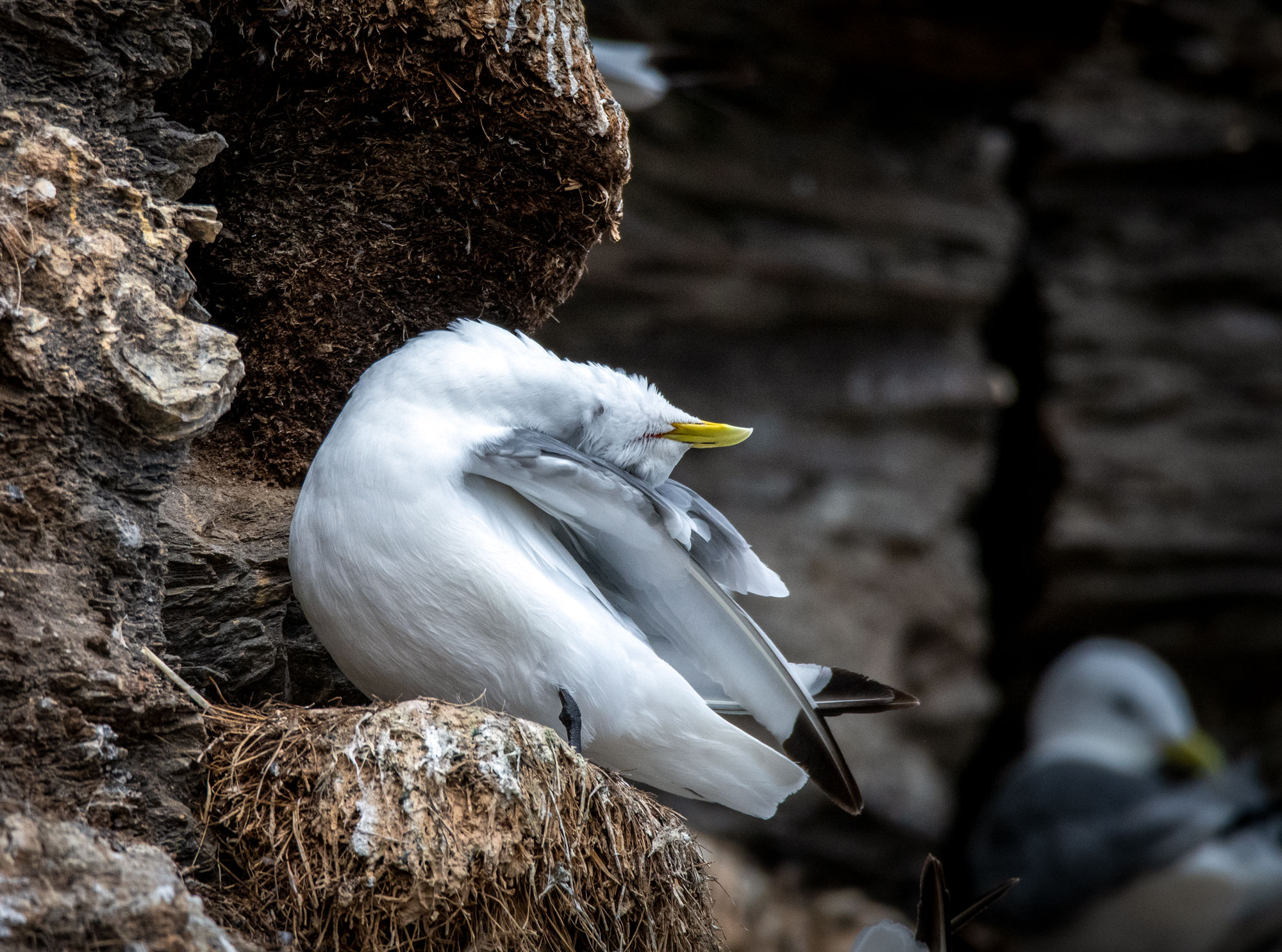 Dramatic kittiwake