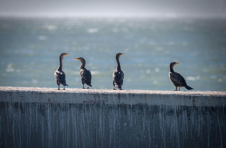 Double Crested Cormorants