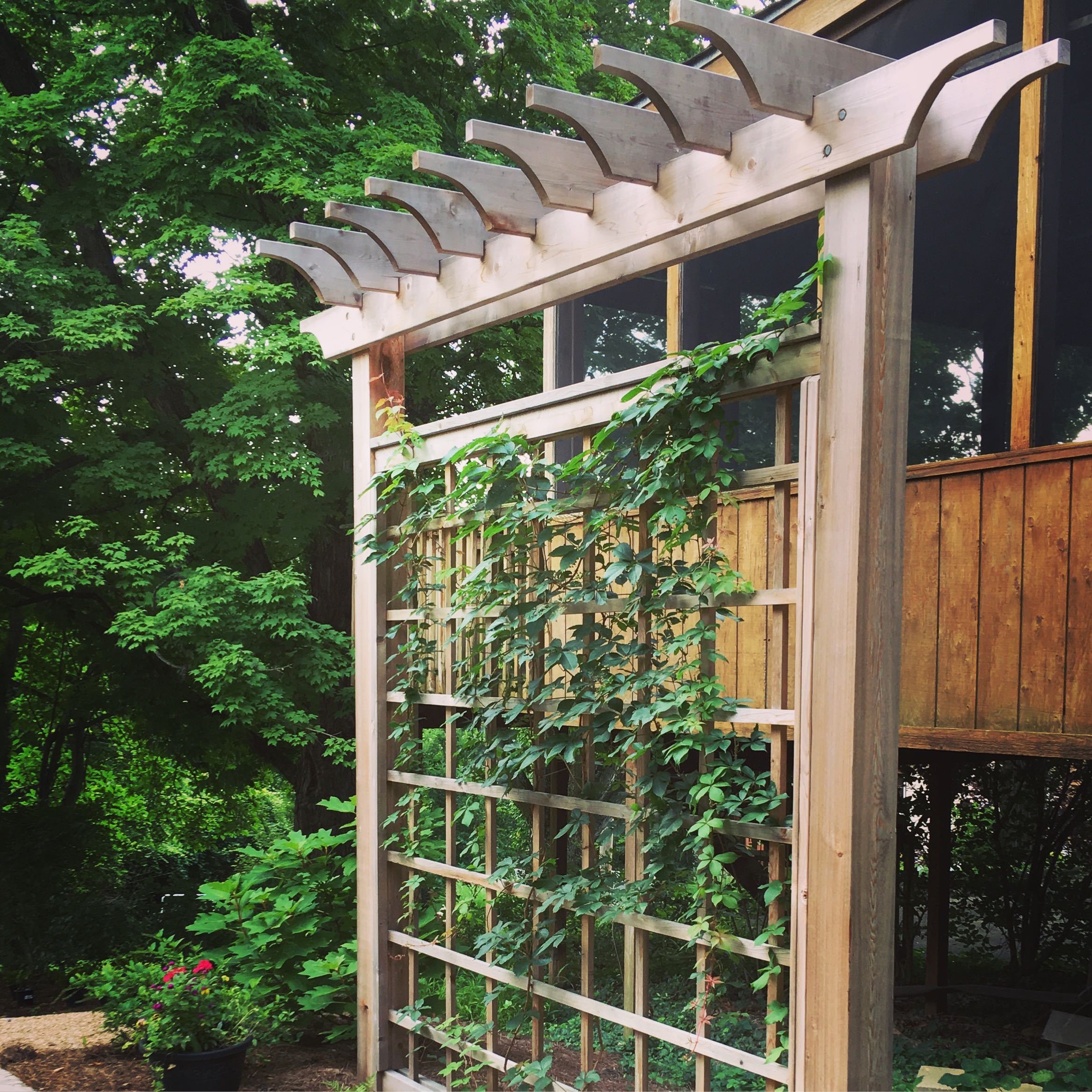 Native vine, virginia creeper begins to fill out the trellis