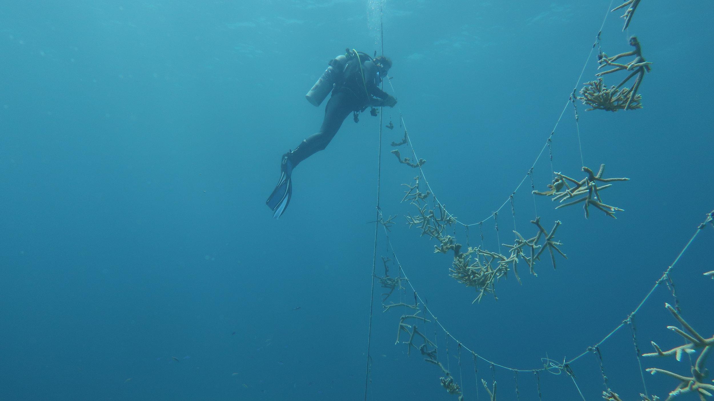 coral_nursery_forfar_bahamas.jpg