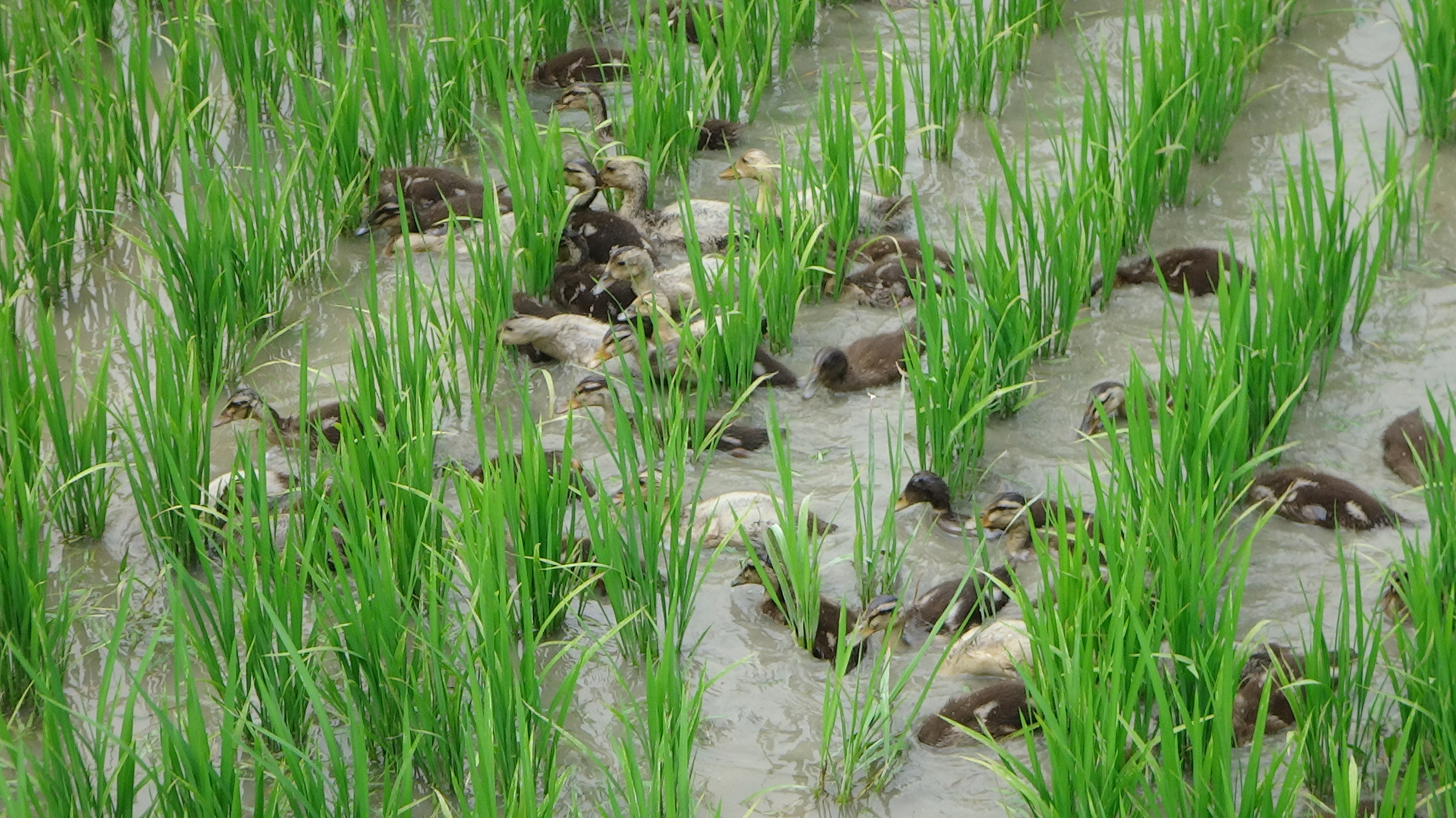 ducklings hard at work helping grow beautiful rice!