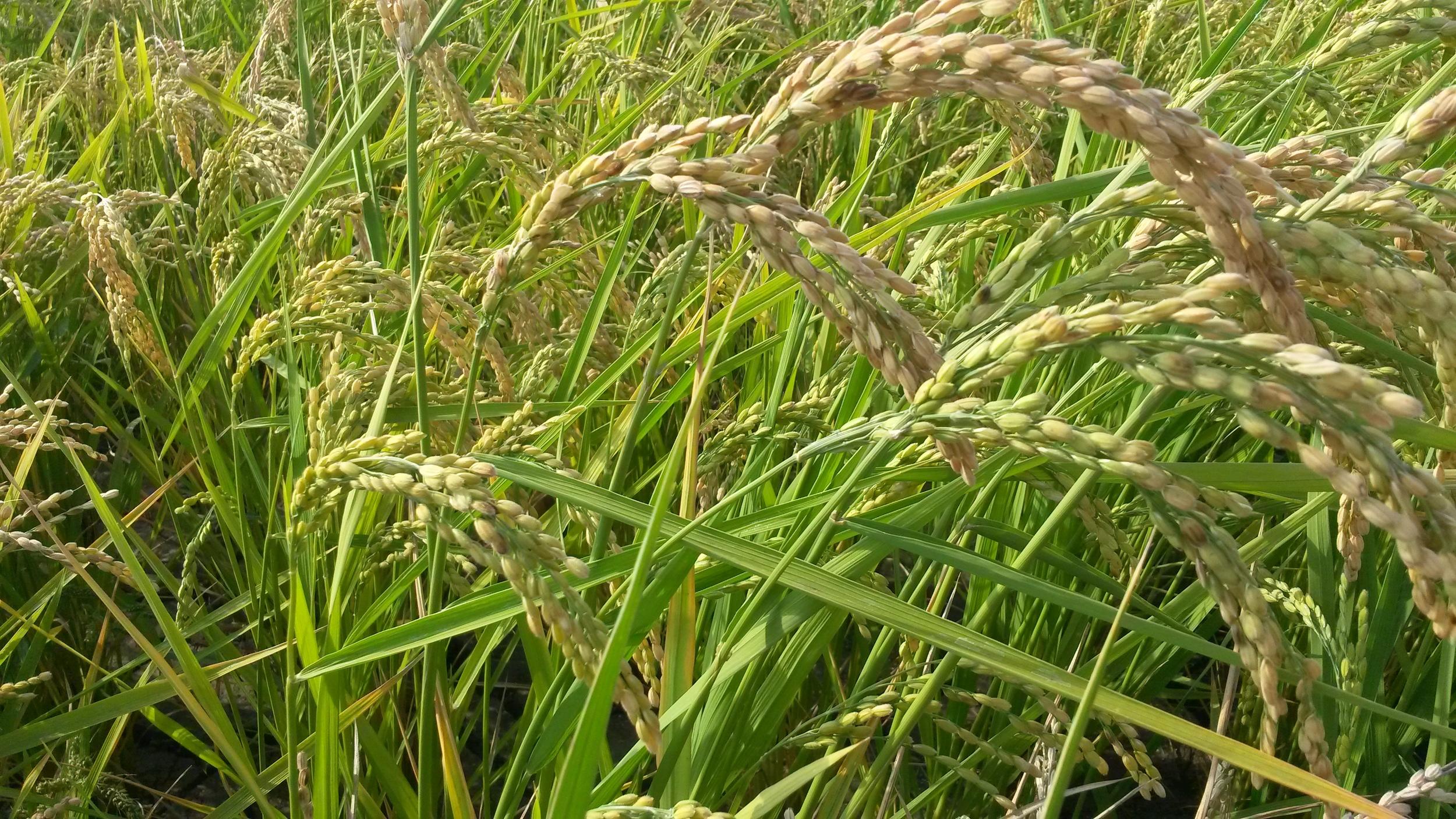 beautiful rice, ripening in the sun