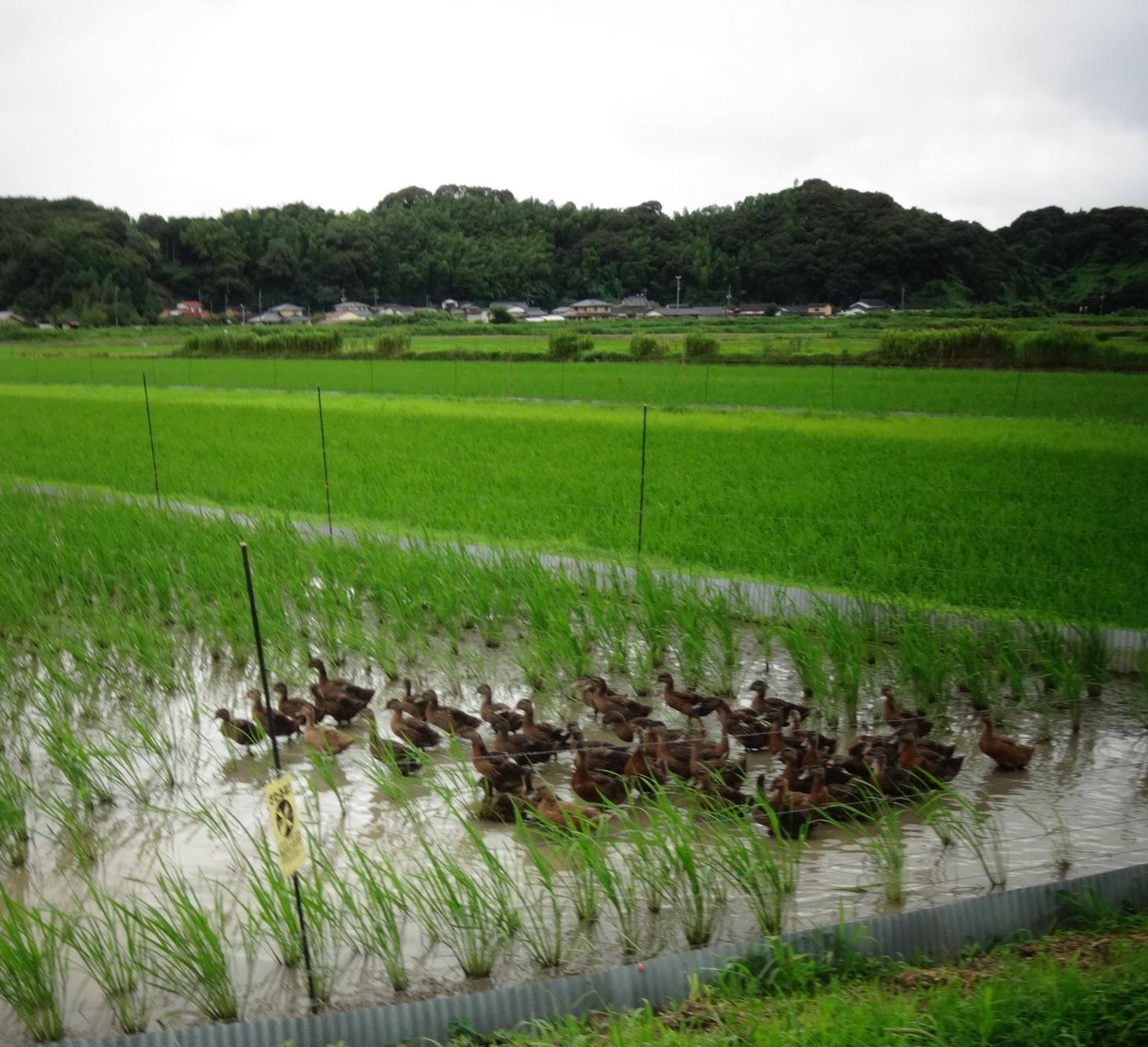 Aigamo ducks in Tento-shi, Fukuoka-ken, Japan
