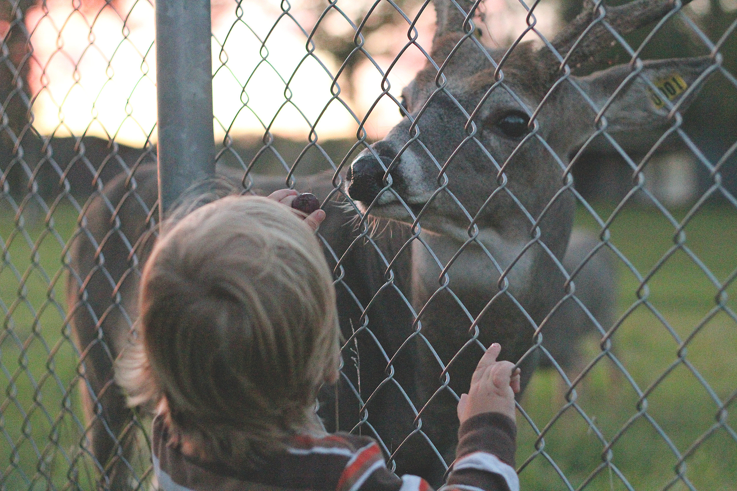We live within walking distance of a deer park where we get to feed the animals!