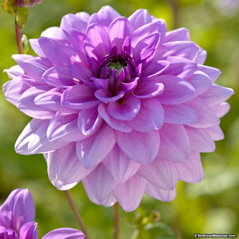 Blue Boy lavender.jpg
