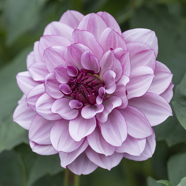 Creme de Cassis lilac.jpg