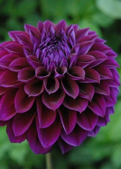 Diva purple.jpg