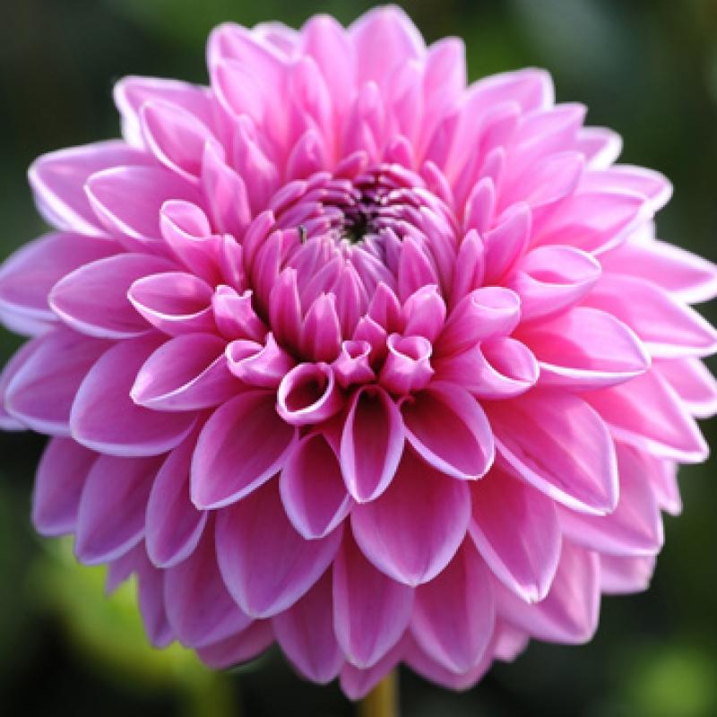 Pink Sylvia.jpg