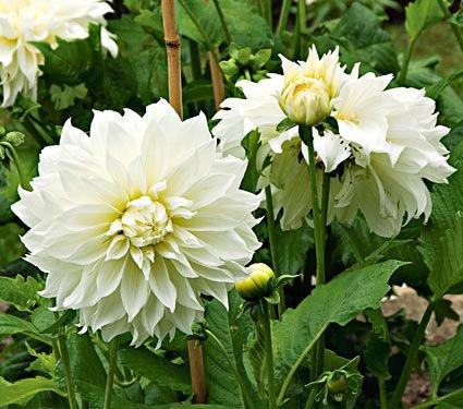 Fleurel white.Jpg