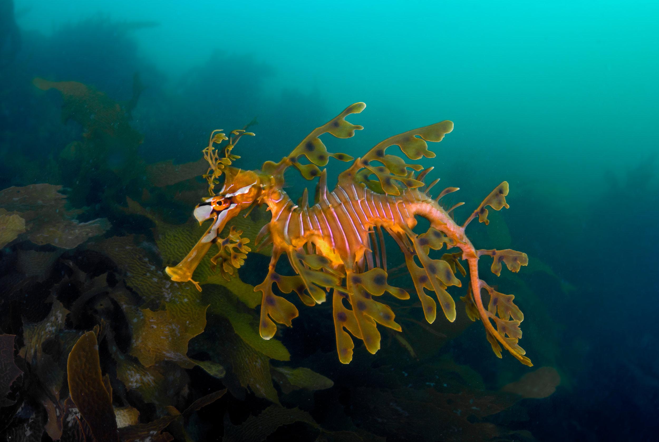 Phycodurus eques / Photo By Gaetano Gargiulo / Guylian Seahorses of the world