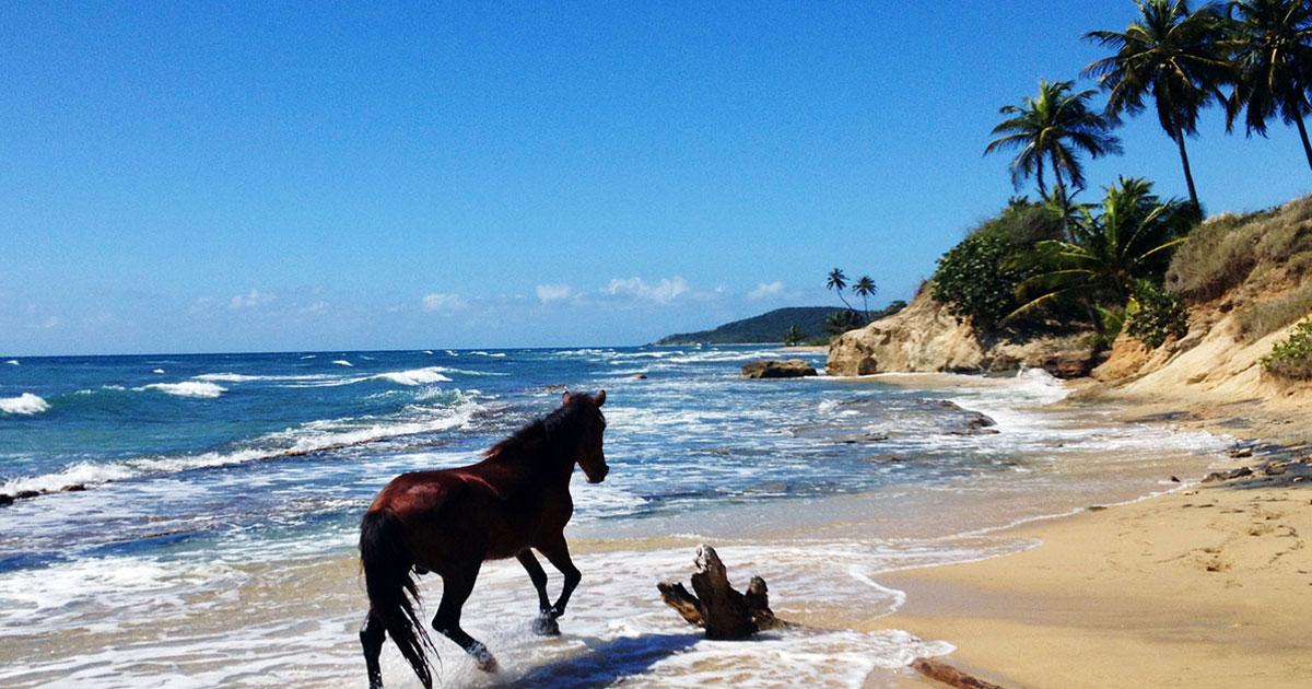 Paso Fino Horse, Vieques Island, PR  Photo: Dan Taylor