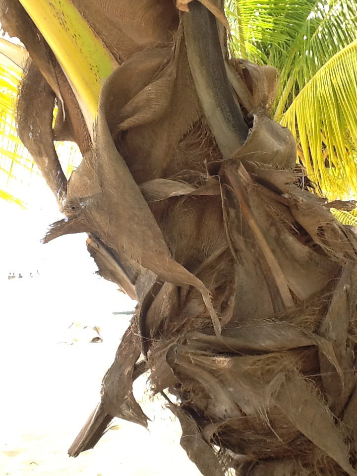 Did you know that burlap comes from coconut trees...a dual functioning tree 😏