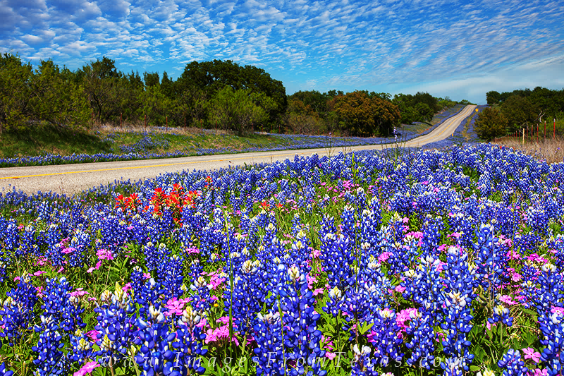 Bluebonnets on Roadside