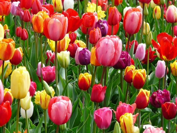tulips_tulip_bed_219089.jpg