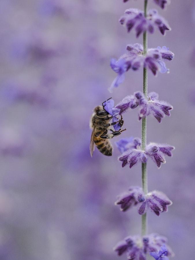 unsplash bee on lavender.jpg
