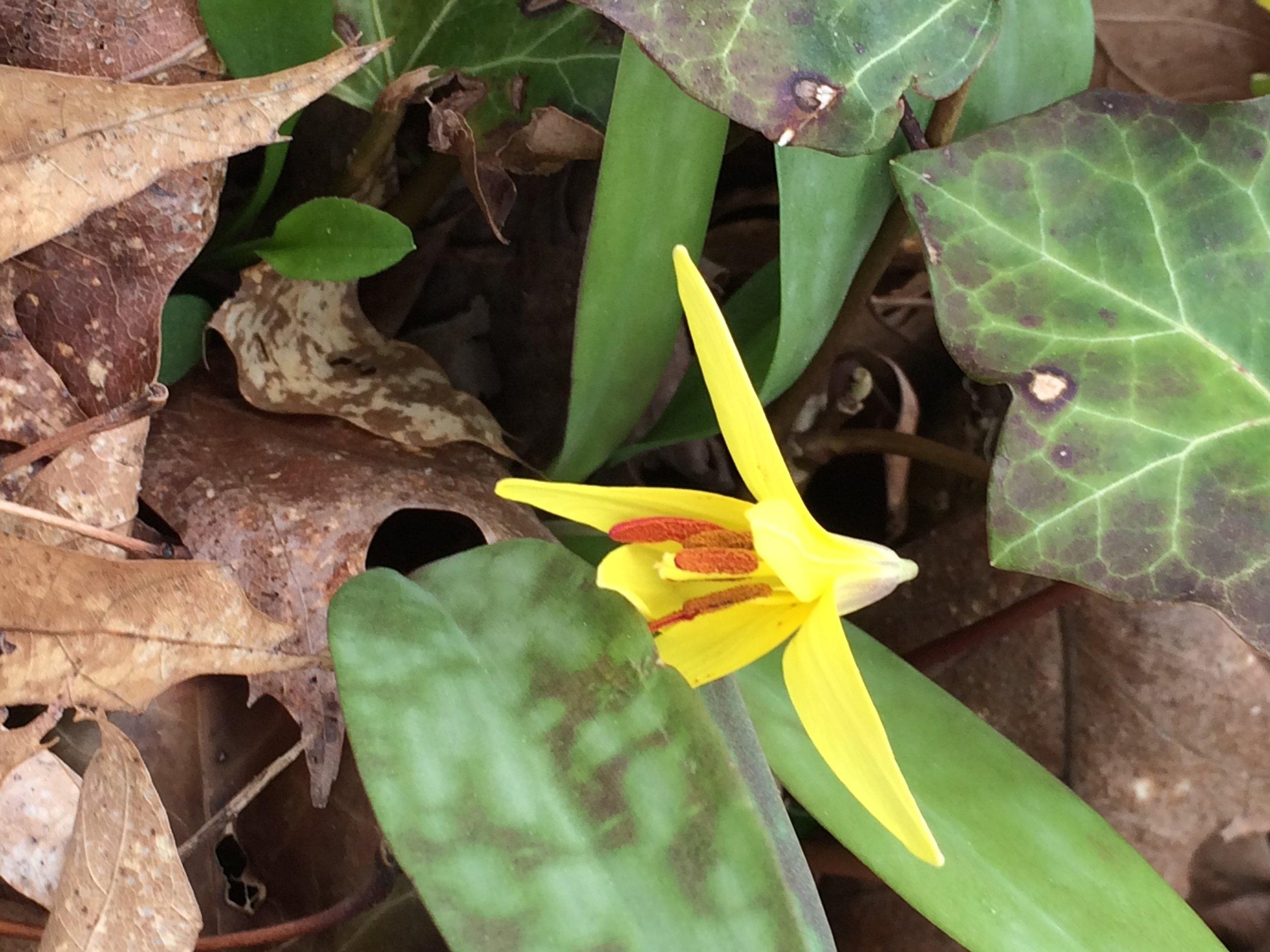 #1 Erythronium americanum