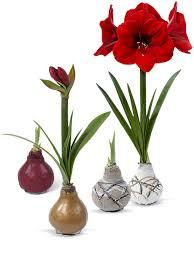 amaryllis.jpg