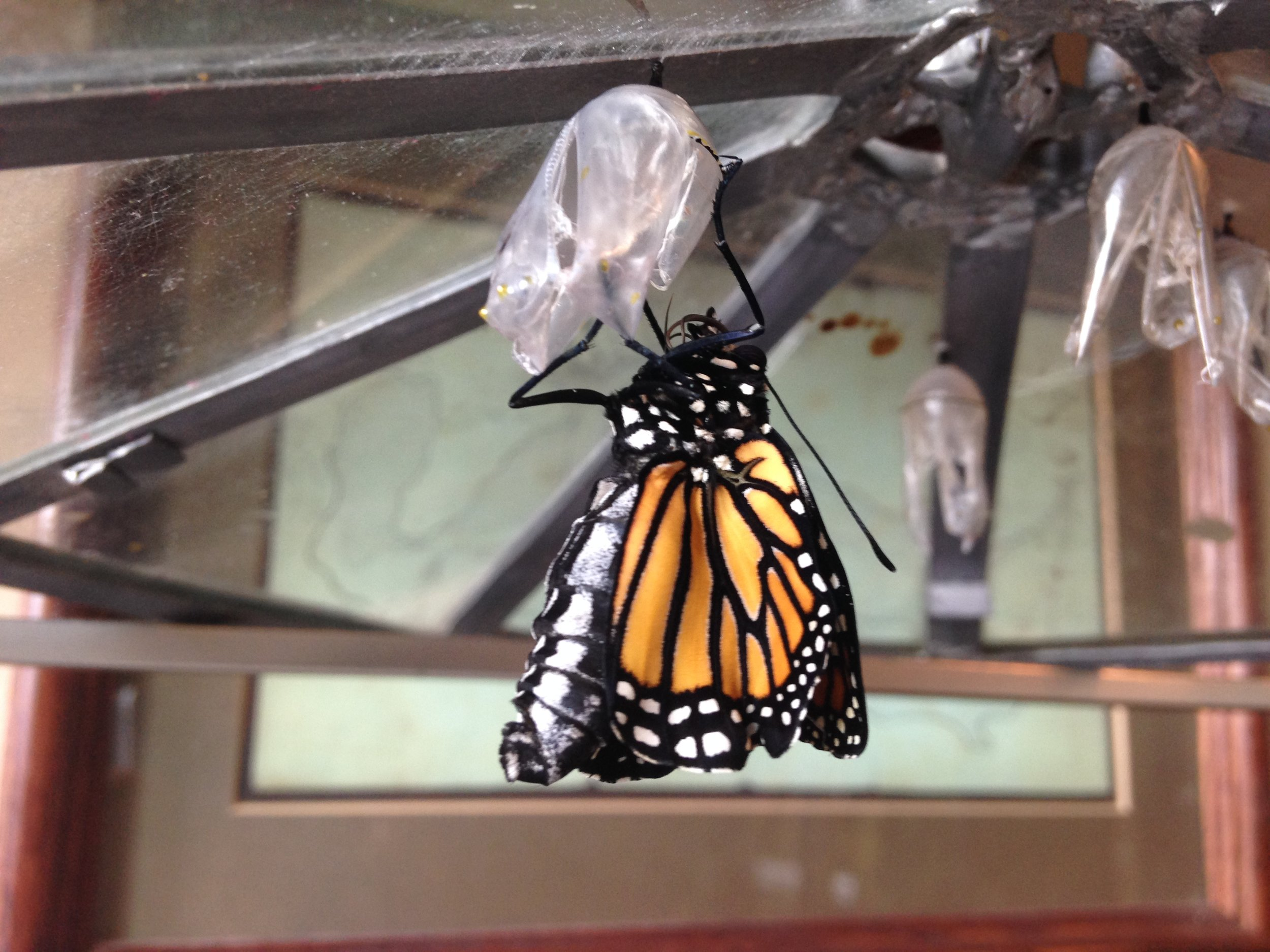 Monarch starting to dry her wings