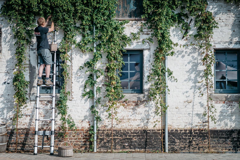 sqsp-hop-harvest-20190830-08851.jpg