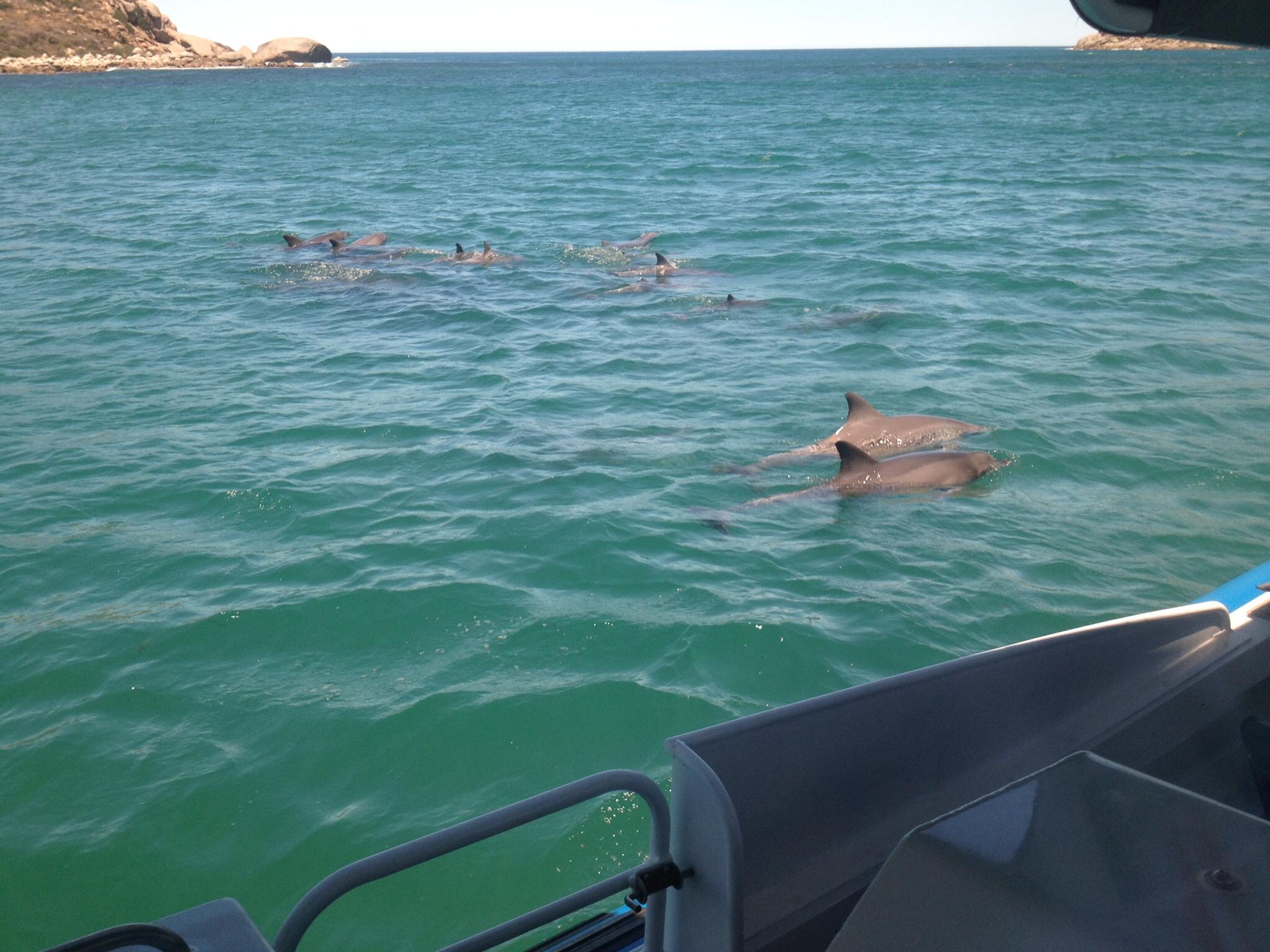 Dolphin pod at Encounter Bay