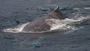 Humpback file photo.jpg