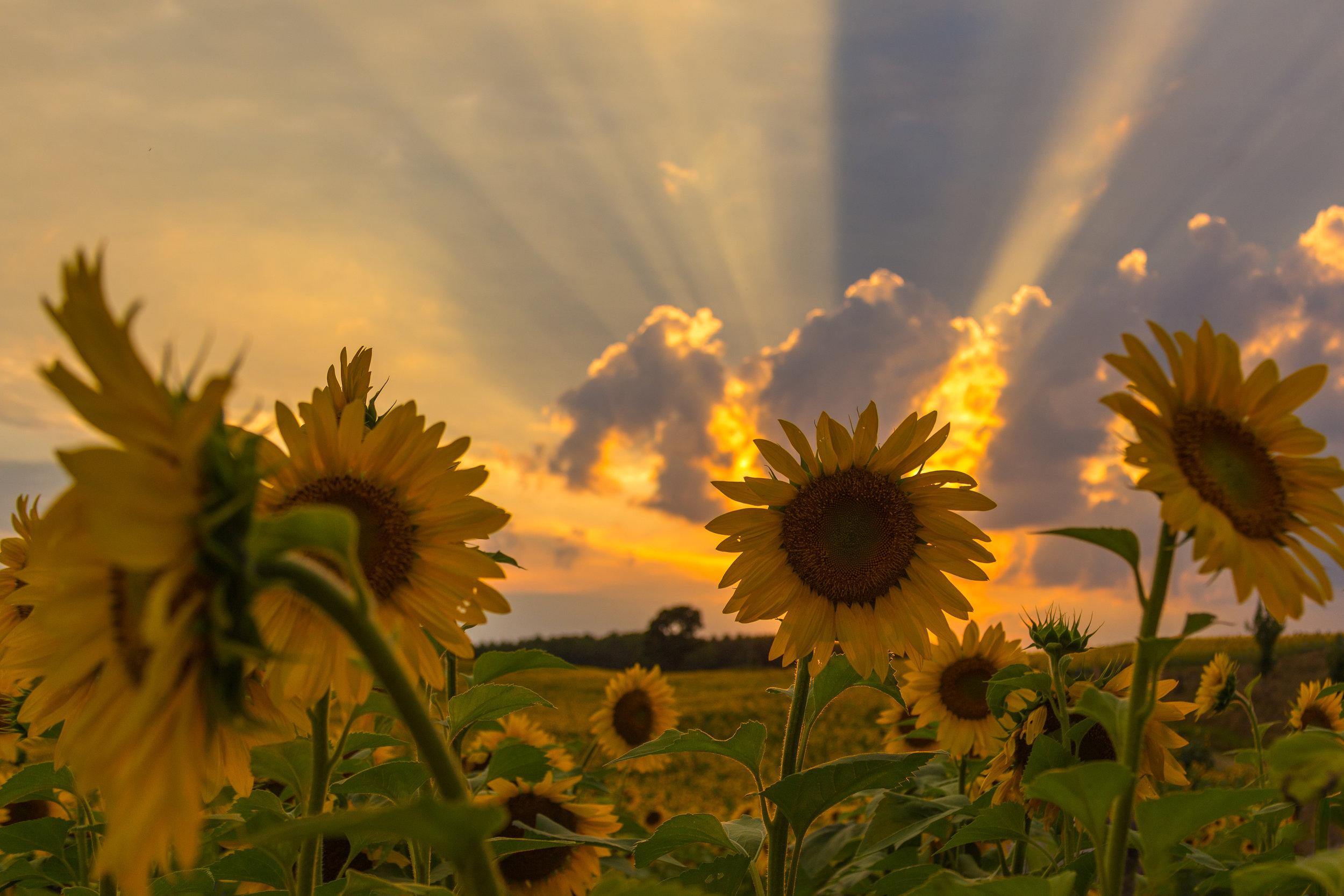 Sunset_Sunflower.jpg