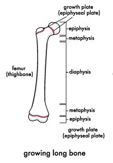 growing long bone.jpg