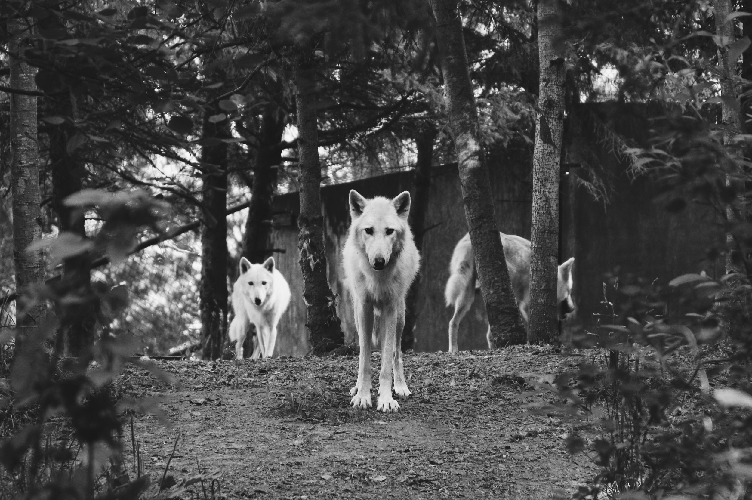 Two Point Five Wolves - BY BOB SCHOFIELD