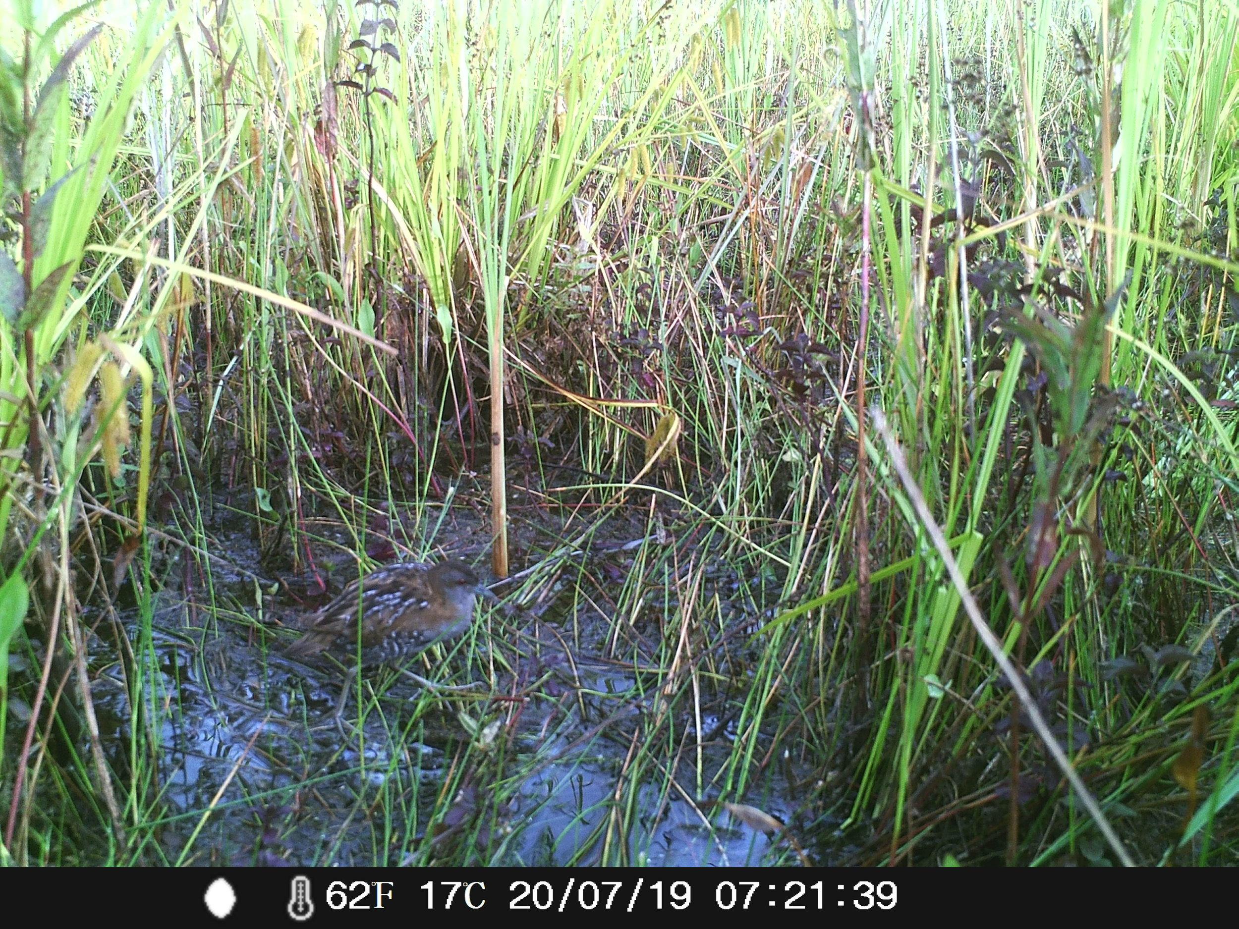 Les pièges à caméra ont permis d'étudier les marouettes dans un habitat dense sans les déranger (photo: Robin Gailly)