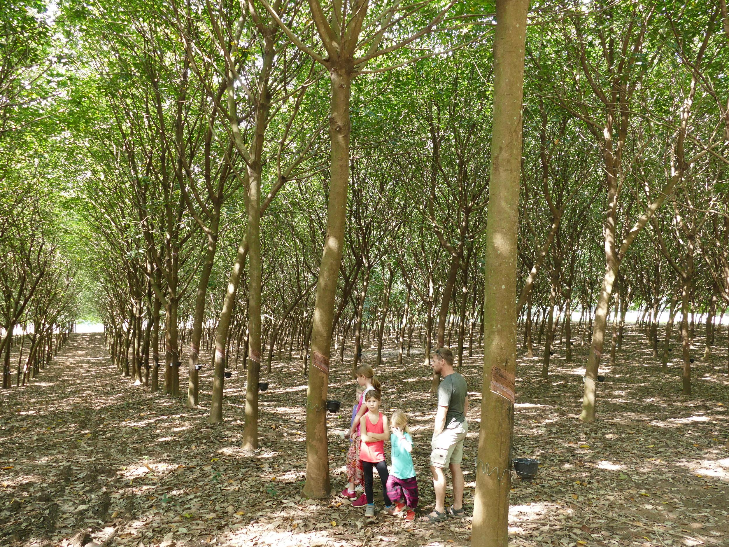 Une forêt d'arbres à caoutchouc... entaillés comme nos érables du Québec. Juste de penser aux érables nous fait mal alors chut!!!! On se promet de vider une canne de sirop d'érable en moins d'une minute à notre retour.