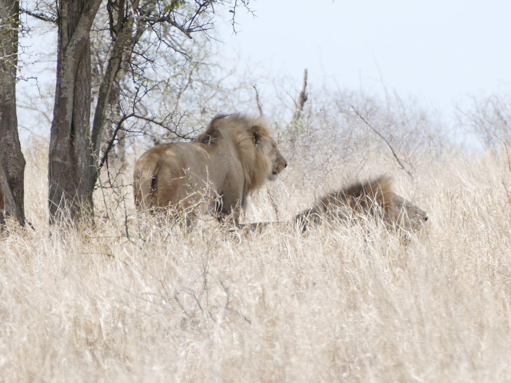 Nos premiers lions, et oui c'est un moment qu'on oubliera jamais..