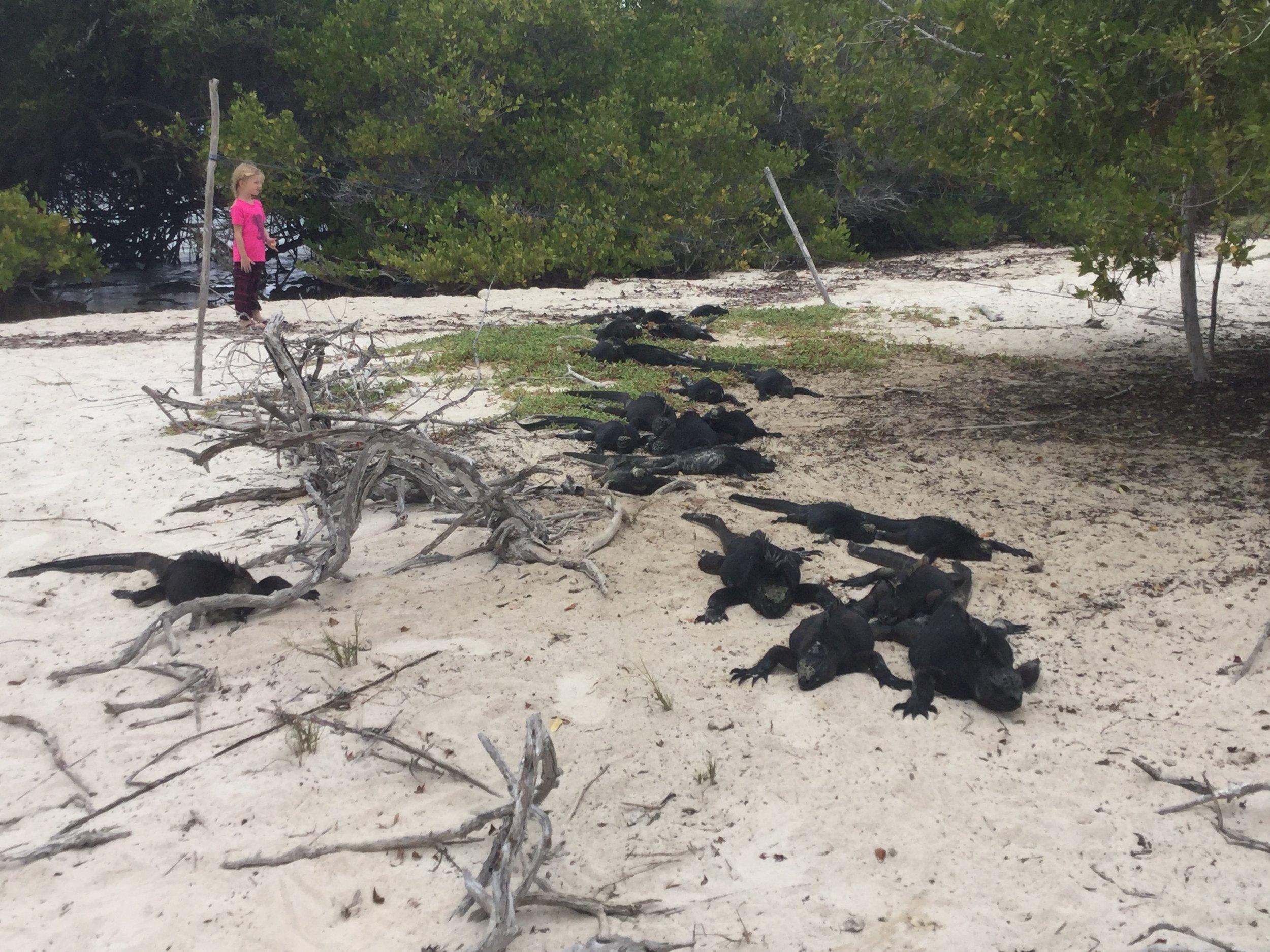 Emmy a bien hésité avant de poursuivre son chemin! Aucun danger, ces iguanes sont très pacifiques.