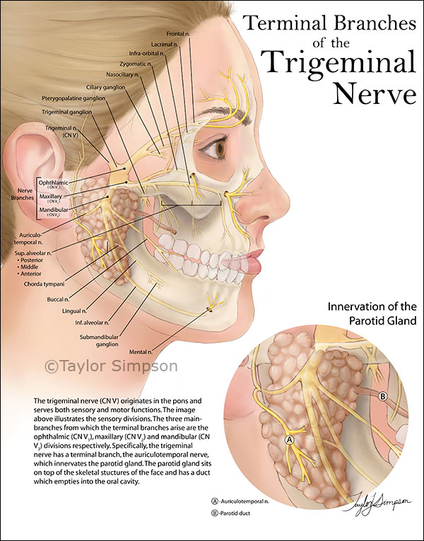 Facial-Anatomy.jpg