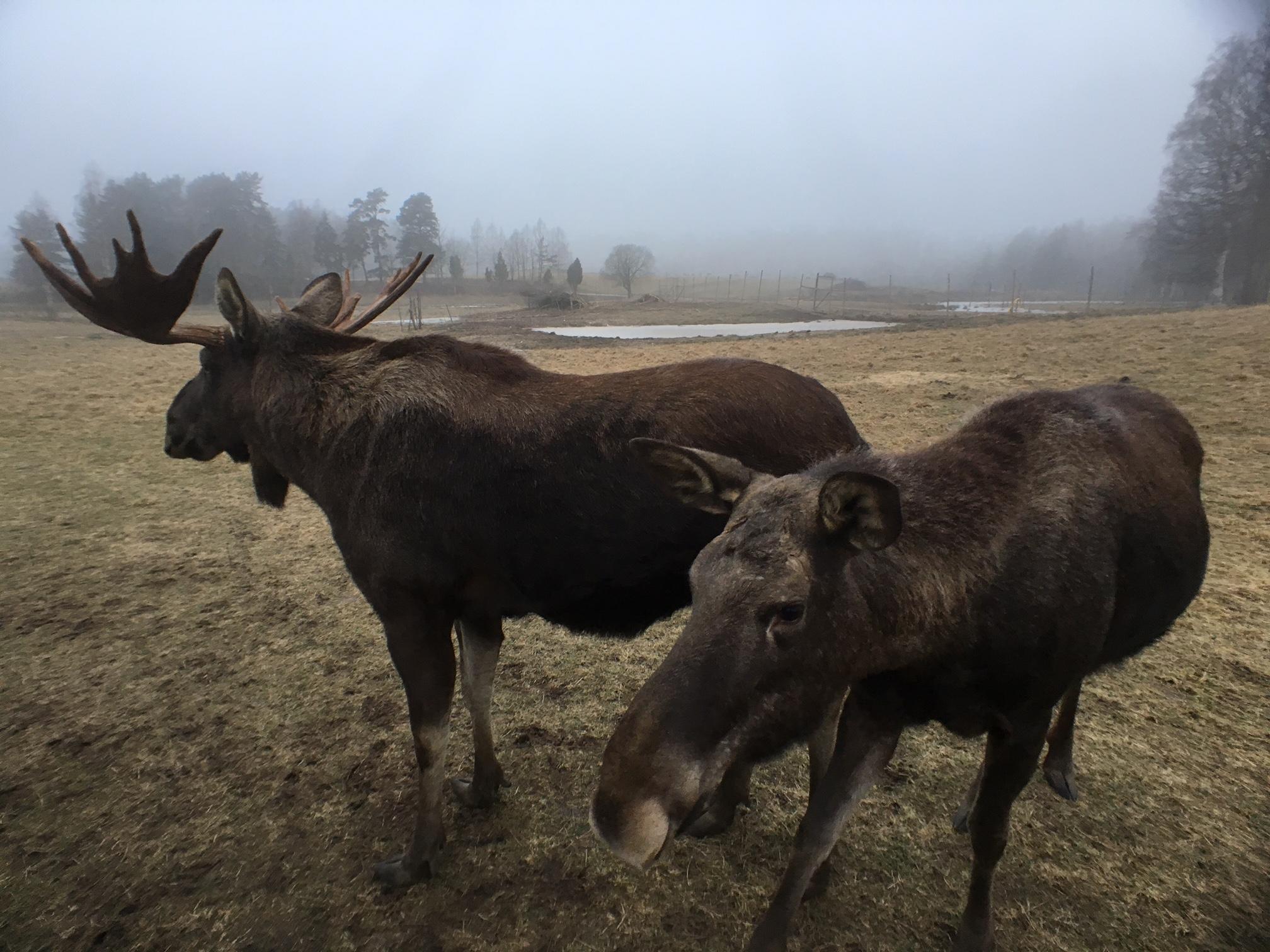 Moose7.jpg