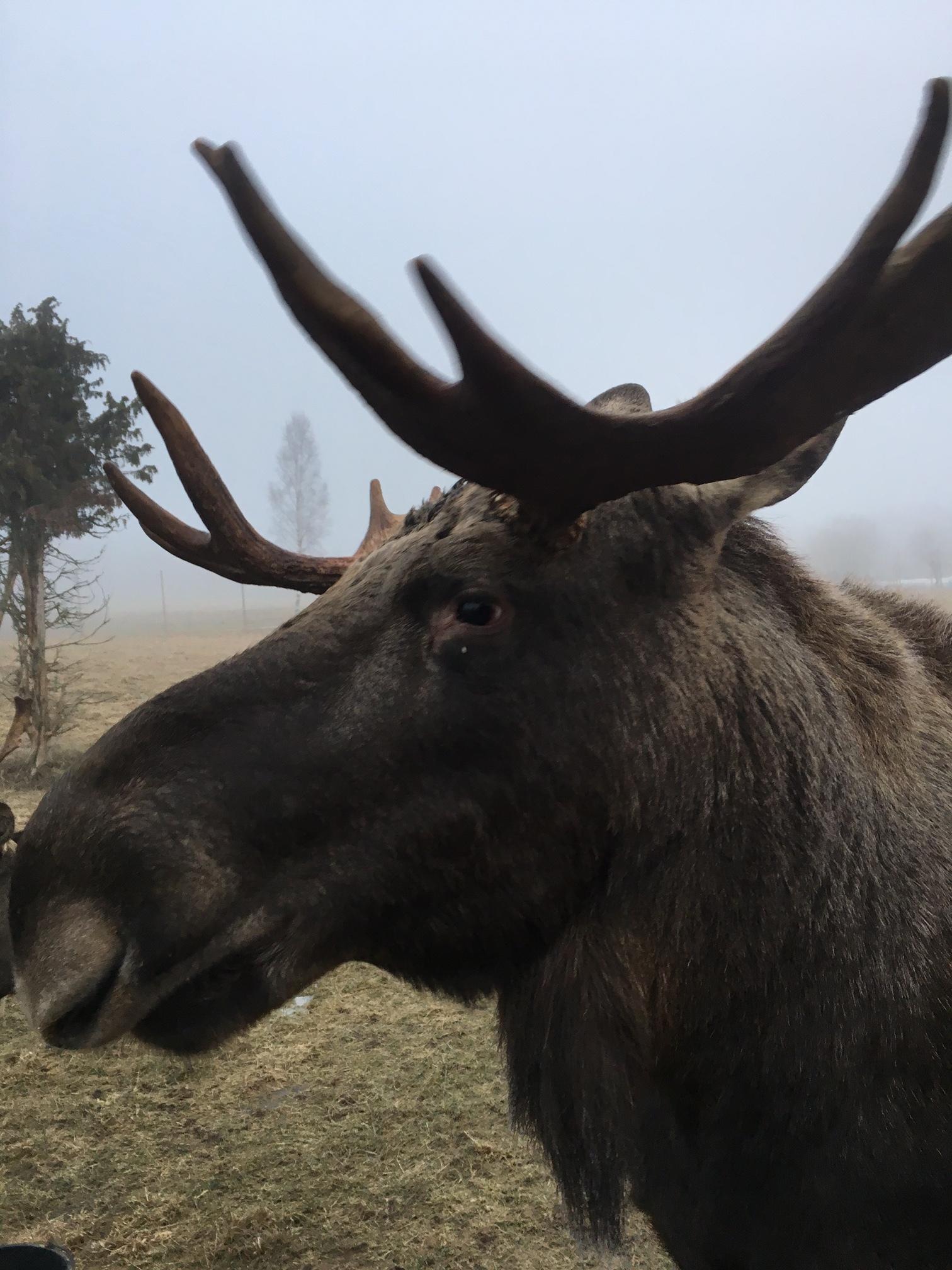 Moose10.jpg