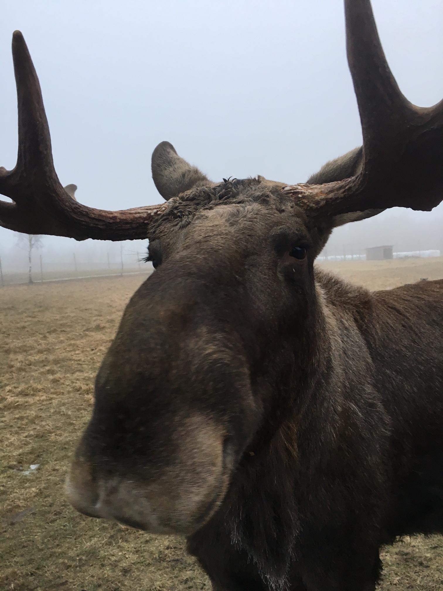 Moose9.jpg