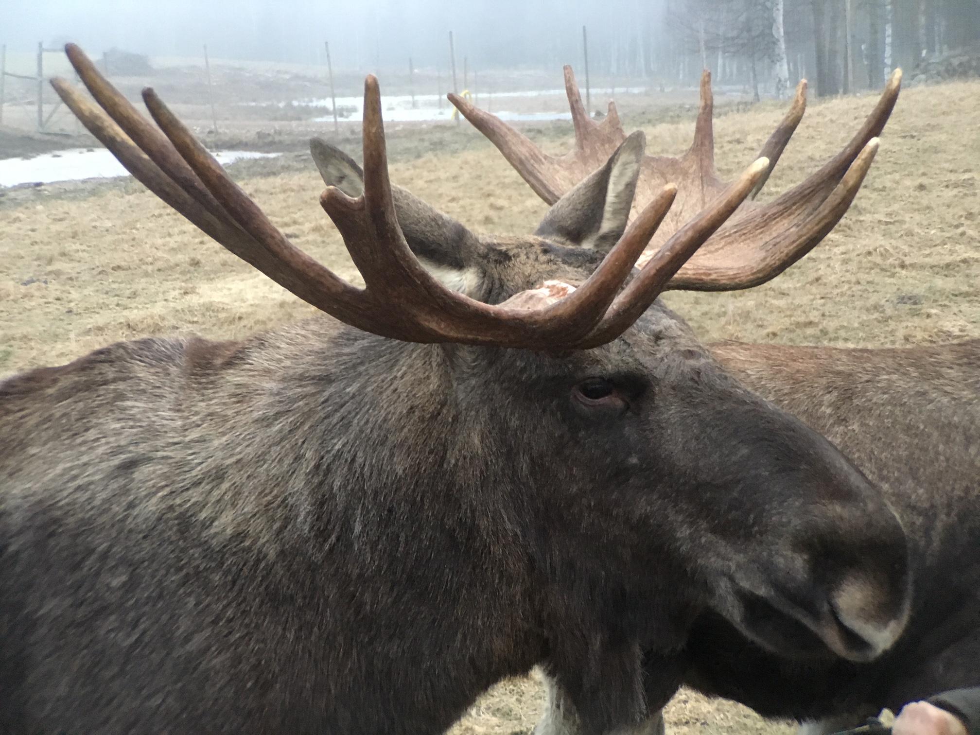 Moose5.jpg