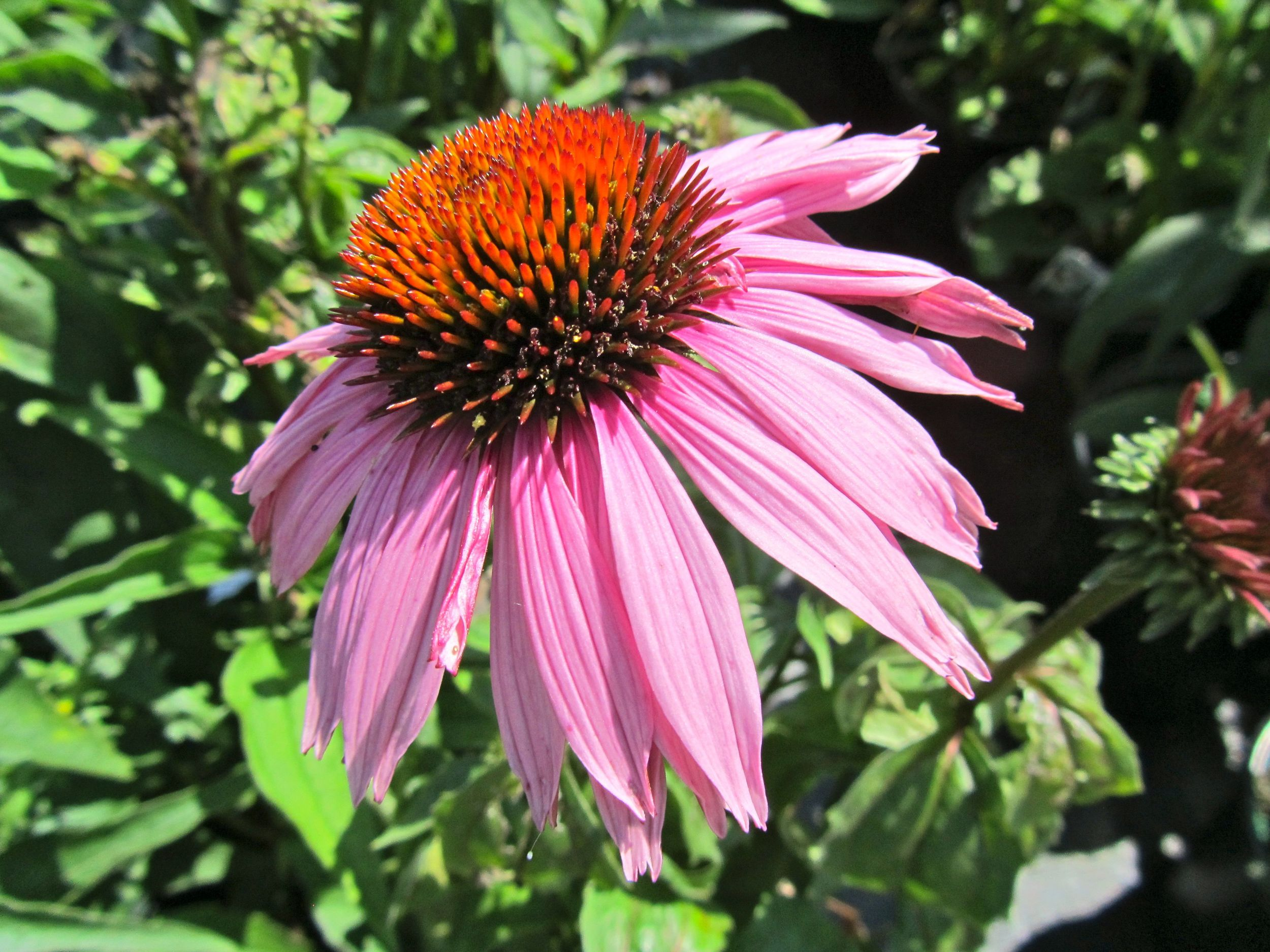echinacea1.jpg