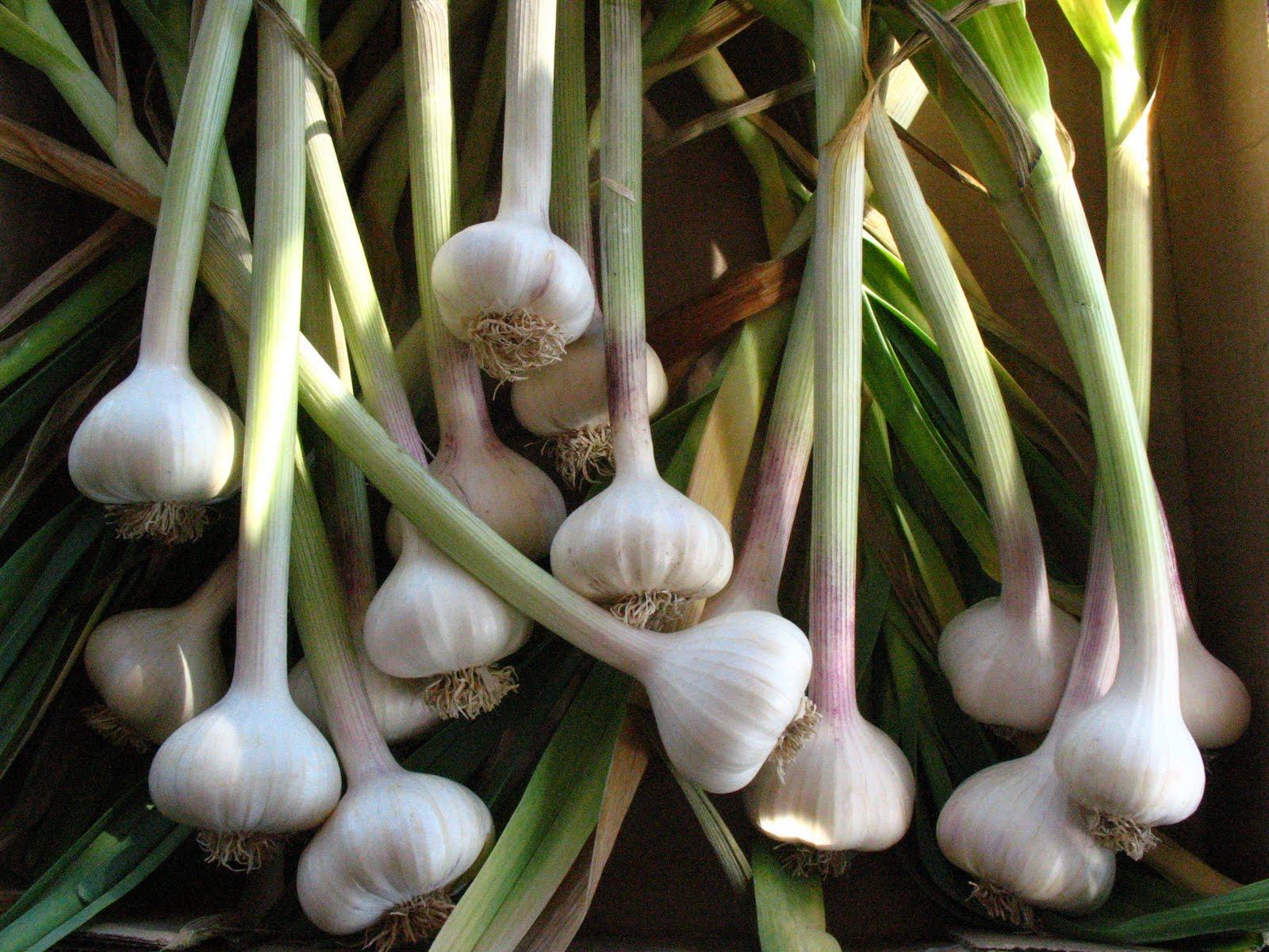 garlic w_greens.JPG