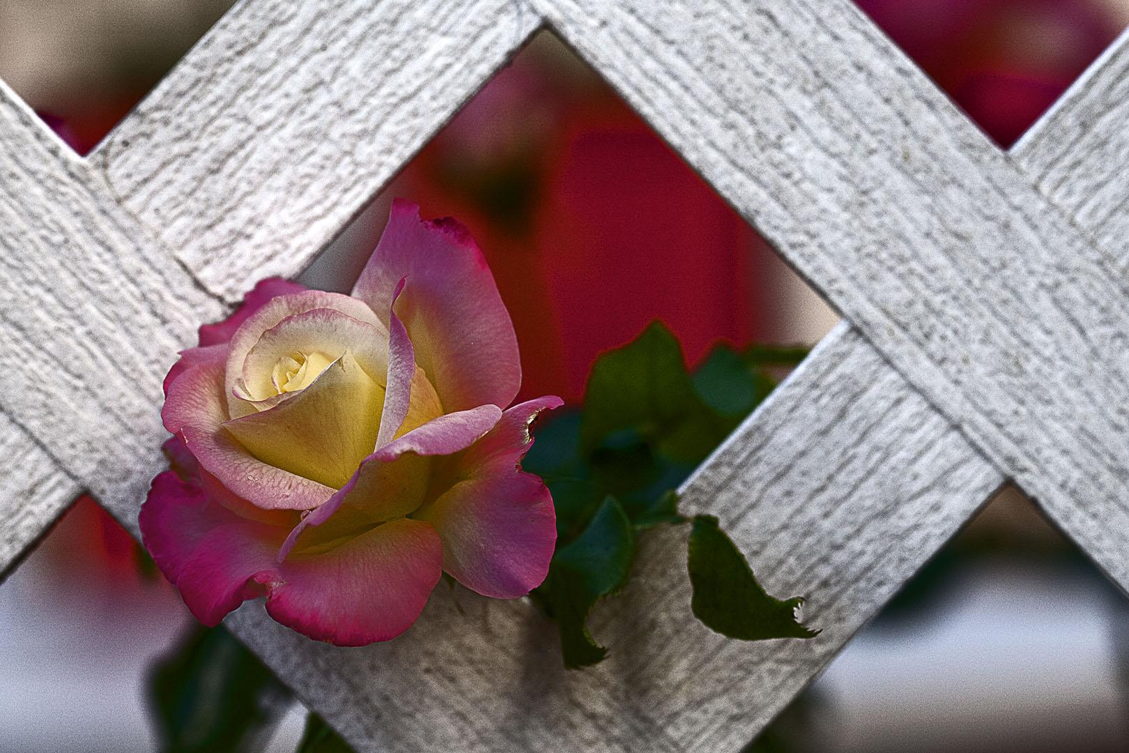 Ruby's Rose