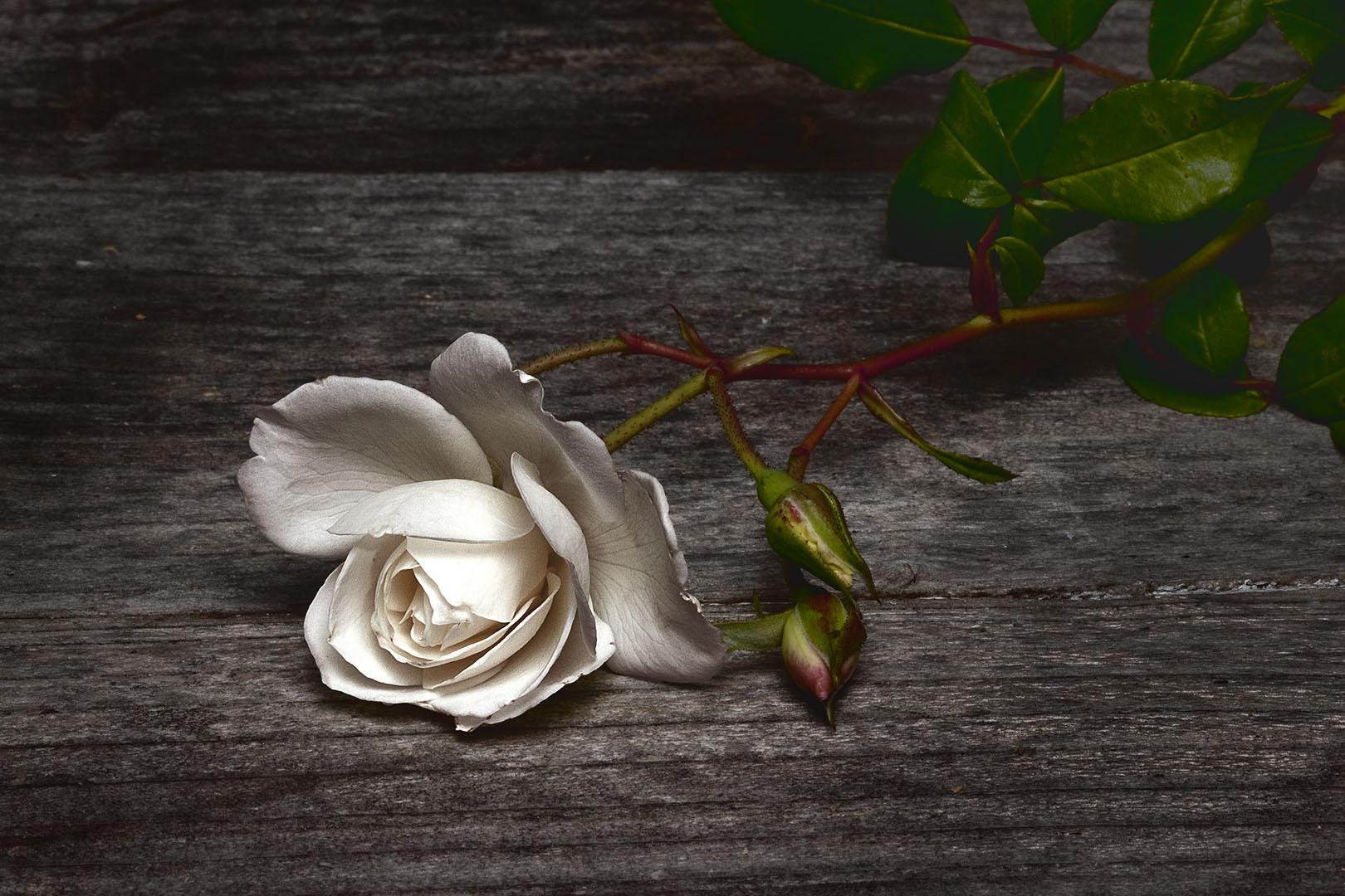 Pam's Rose