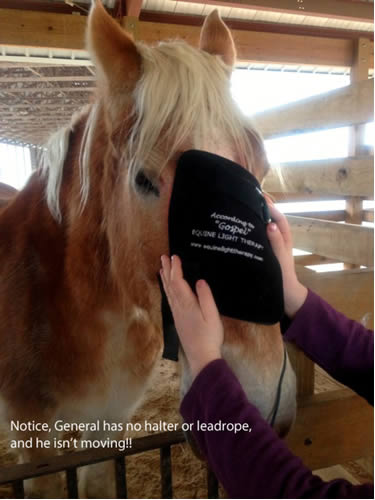 Older Belgian gelding receives Equine Light Therapy to clear nasal drainage.