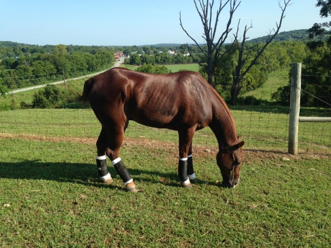 There are no documented success stories of horses who recover from this type of injury. In fact the literature says the only answer is Euthanasia. Roy is 8 months out, post injury and back out in the pasture.