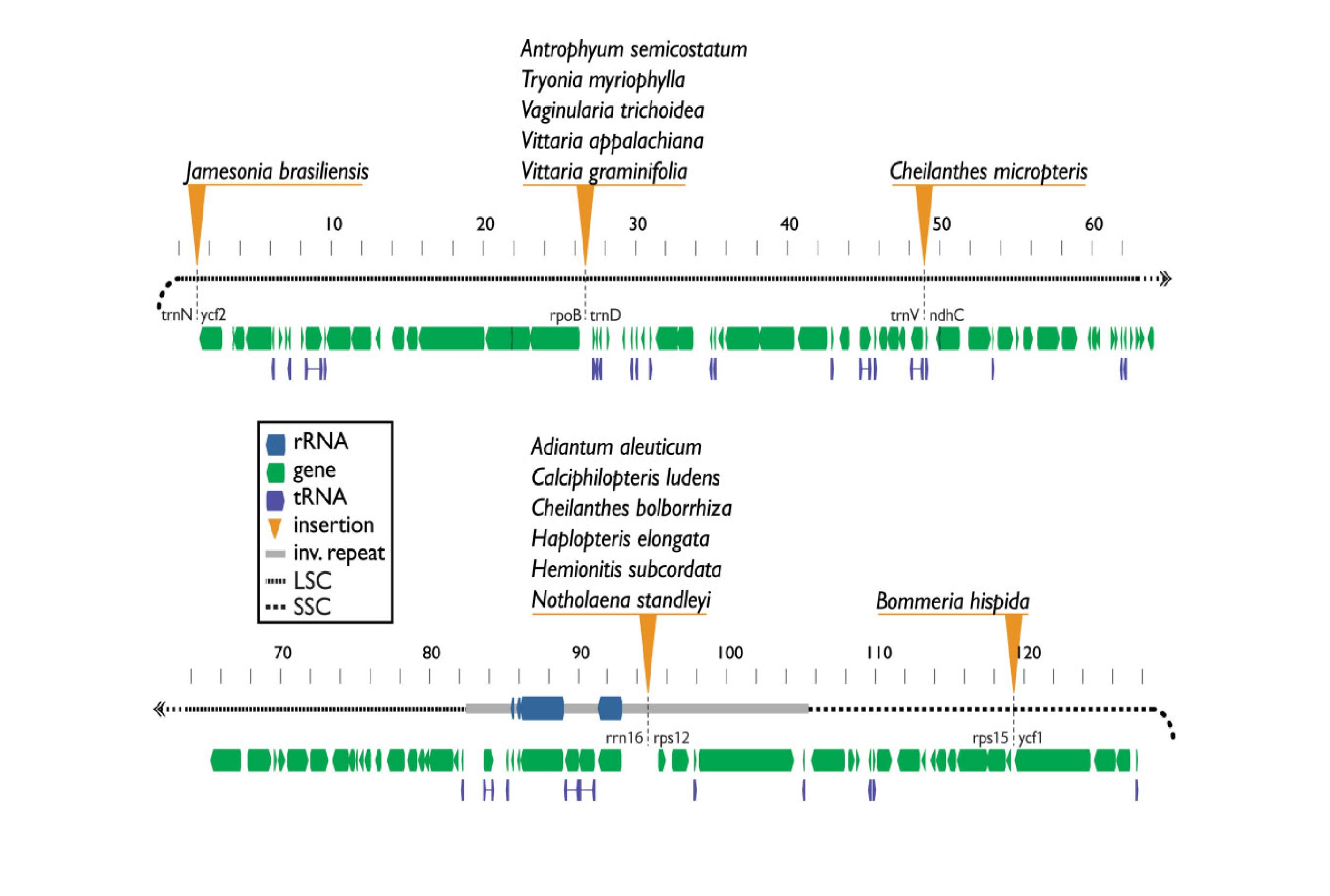 figure 2: Detected insertion sites in plastomes of Pteridaceae, relative to  Adiantum capillus-veneris .  Light gray bar denotes inverted repeat region. Robison et al. 2018  GBE.