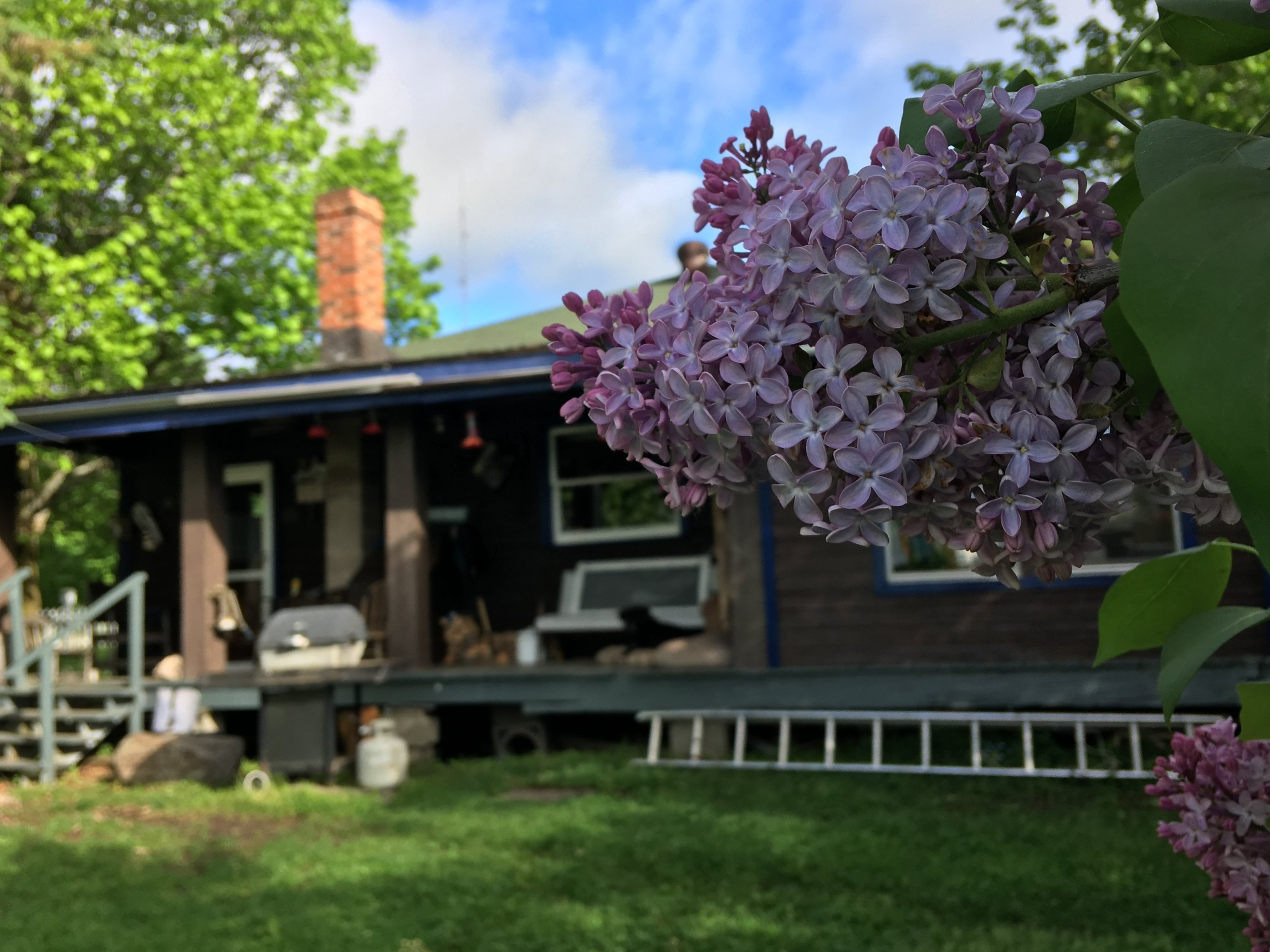 Lilacs blooming outside of Algonquin Outfitters at Brent Campground. Algonquin Provincial Park, Ontario, Canada.