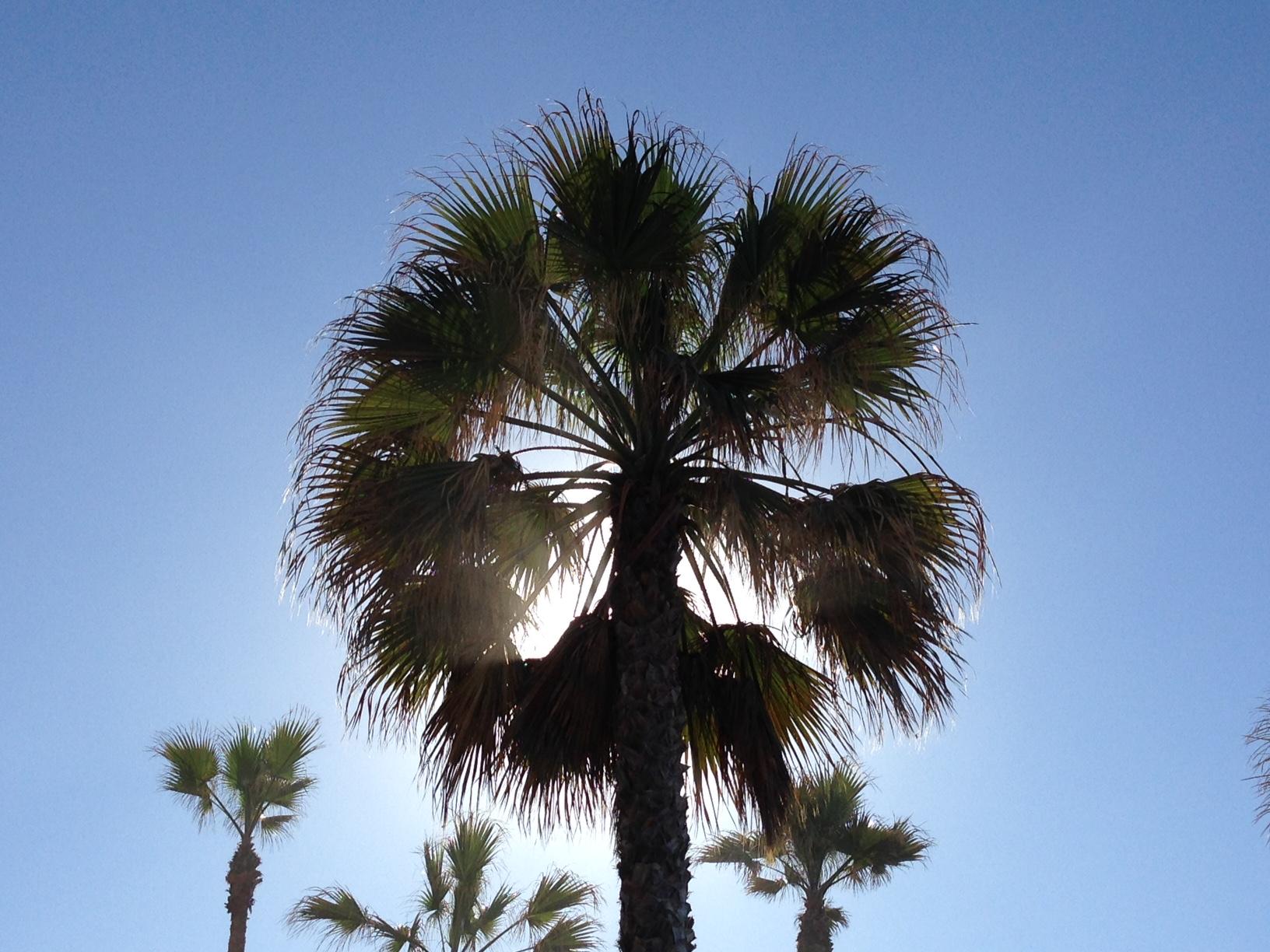 Palm Tree 7.JPG