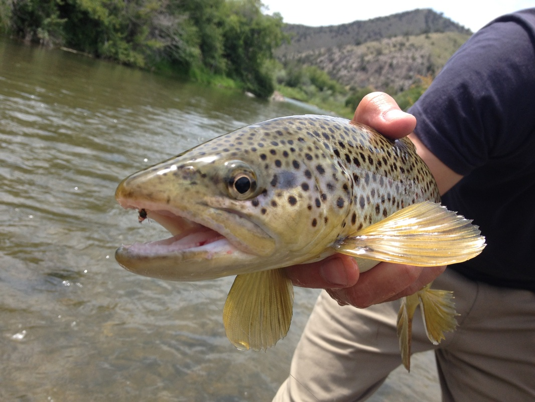 Here's my number one fly stuck to the nose of a nice brown!
